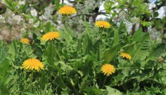dandelion-weeds-indicator-plants