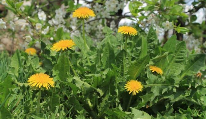 dandelion-weeds-indicator-plants